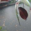 淡水サヨリ?大雨の江津湖でシーバスをサヨリパターンのルアーで攻略