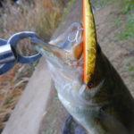カヤックで爆釣したルアー!阿修羅925SPは陸っぱりでも釣れるルアーだった